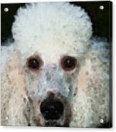 Poodle Art - Noodles Acrylic Print by Sharon Cummings