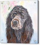 Poodle Mix  Acrylic Print