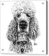 Poodle @standerdpoodle Acrylic Print