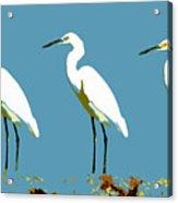 Pop Egrets Acrylic Print