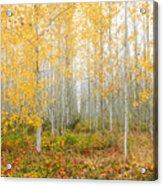 Poplar Tree Grove In Fall Acrylic Print