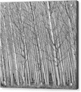 Poplars Beauty Trees Acrylic Print