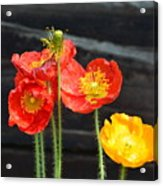 Poppies 17-01 Acrylic Print