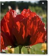 Poppies 4 Acrylic Print