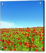 Poppies And A Photographer Acrylic Print