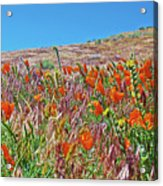 Poppies And Fiddleneck In Antelope Valley Ca Poppy Reserve Acrylic Print