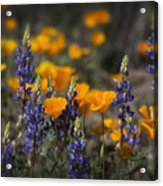 Poppies And Lupines  Acrylic Print