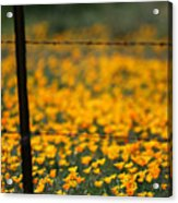 Poppies And Barbed Wires Acrylic Print