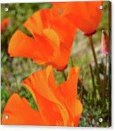 Poppies Antelope Valley Acrylic Print