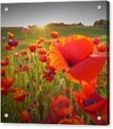 Poppies At Sunset Acrylic Print