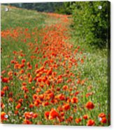 Poppies Awash Acrylic Print