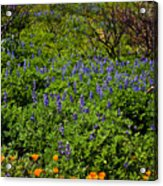 Poppies Before Lupines Acrylic Print