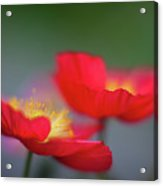 Poppies Edges Acrylic Print