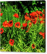 Poppies Flowerbed Acrylic Print