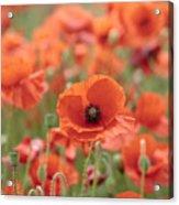 Poppies H Acrylic Print