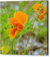 Poppies In The Wind Acrylic Print