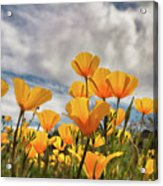 Poppies In The Wind Part Two  Acrylic Print