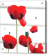 Poppies, Lovely Poppies Acrylic Print