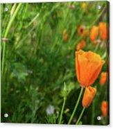 Poppies Acrylic Print