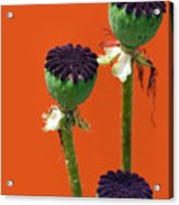 Poppies On Orange Acrylic Print