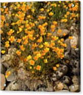 Poppies On The Rocks Acrylic Print