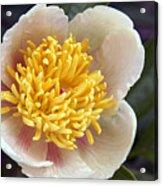 Poppy  05 Acrylic Print