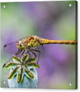 Poppy And The Dragonfly Acrylic Print