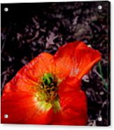 Poppy At Dusk Acrylic Print