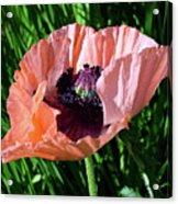 Poppy Beautiful Acrylic Print