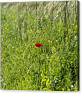 Poppy Flower Between Herbs Acrylic Print