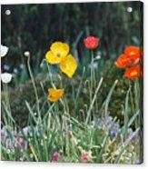 Poppy Flower Mix Acrylic Print