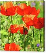 Poppy Garden I Acrylic Print