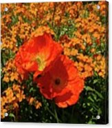 Poppy Glories Acrylic Print