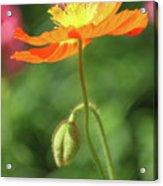 Poppy Glow Acrylic Print