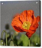 Poppy - Id 16235-142806-2801 Acrylic Print