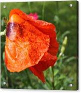 Red Poppy II Acrylic Print