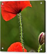Poppy Image Acrylic Print