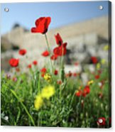 Red Poppy Flower On The Meadow Acrylic Print