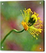 Poppy Seed Capsule Acrylic Print by Kaye Menner