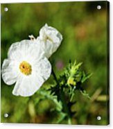 Poppy Wildflower Acrylic Print