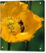 Poppy With Bee Friend Acrylic Print