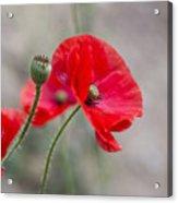 Poppys Acrylic Print