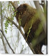 Porcupine Eating Leaves Acrylic Print