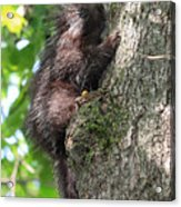 Porcupine In Sherbrooke Quebec Acrylic Print