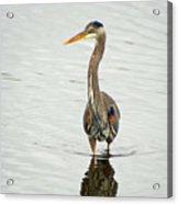 Port Townsend Blue Heron Acrylic Print