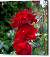 Portland Roses #6 Acrylic Print