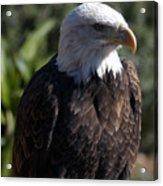 Portrait Bald Eagle  Acrylic Print
