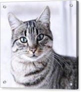 Portrait Gray Tabby Cat Acrylic Print