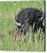 Portrait Of A Bison Acrylic Print