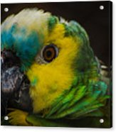 Portrait Of A Blue-fronted Parrot Acrylic Print